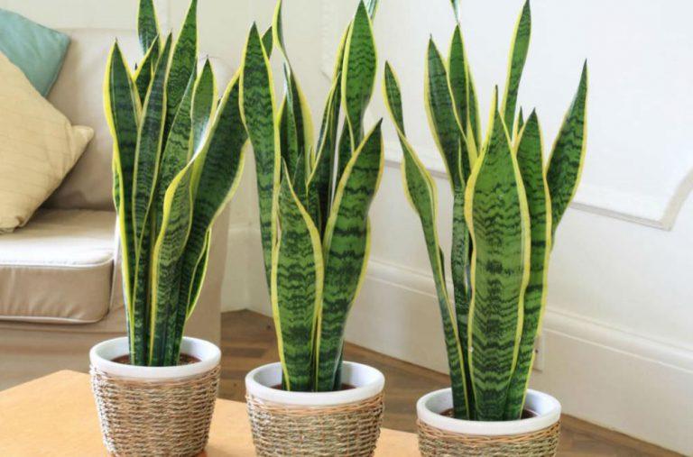 растения для спальни по фен-шуй щючий хвост сансевиерия